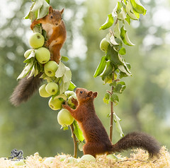 red squirrel standing with apple branches (Geert Weggen) Tags: animal applefruit autumn branchplantpart bright brightlylit cheerful closeup cute food fruit fun happiness harvesting horizontal humor lightnaturalphenomenon mammal moss nature photography red rodent squirrel summer sweden tree vibrantcolor younganimal sweet bispgården jämtland geertweggen geert weggen ragunda hardeko