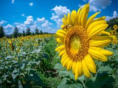 Bee landing on sunflower (rickmcnelly) Tags: flower fisheye sunflower gx8 bee rokinon 7535 rokinon7535
