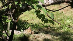 European wildcat 23-06-2018 002 (swissnature3) Tags: wildlife animals wildcat nature basel switzerland