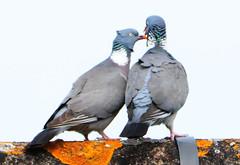 DSC_0669 (PeaTJay) Tags: nikond300s tamron reading lowerearley berkshire outdoors nature birds gardenbirds pigeon pigeons