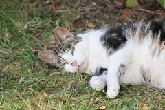 Enjoying the Summer (Jeff And) Tags: cat possum garden dozing sun shade content