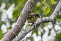 American Redstart, female , Joyce's Trail to Witless Bay (frank.king2014) Tags: female americanredstart baybulls newfoundlandandlabrador canada ca