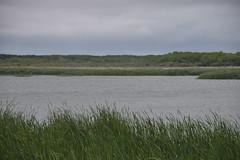Green and grey (Bad Alley (Cat)) Tags: hillsidebeach manitoba marsh swamp lagoon lake water shore wetland rushes green lakewinnipeg