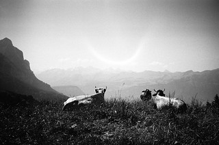 cows and alps