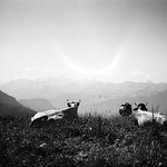 cows and alps thumbnail
