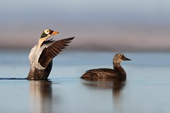 Spectacled Eider Pair (Daniel Behm Photography) Tags: spectacledeider eider waterfowl barrow alaska barrowalaska tundra arctic arcticlight wingflap danielbehm behm nature water colotcanon pond lake studebakertours fowl duck