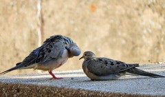 Urban Dove (clarkcg photography) Tags: dove bird feathers fauna city urban wild sundayfauna 7dwf
