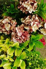 DSC00640chinon28-2.8 (Kallu Medeiros) Tags: kallumedeiros autochinon28mm128 auto chinon 2828 purmerend holland noordholland holanda nederland m42 lens sony alpha nex5 flower bloemen flôres