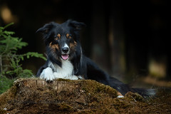 in the forrest (Flemming Andersen) Tags: pet nature yatzyportrait dog bordercollie yatzy water outdoor hund animal