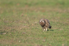 My Project 2018 (eric-d at gmx.net) Tags: littleowl steinkauz eule strigidae owl kauz athenenoctua eric ngc