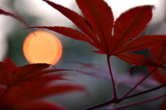 There has to be an invisible sun (James_D_Images) Tags: orange sun bokeh smoke forestfire filtered light japanesemaple acer palmatum closeup evening sunset