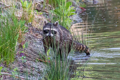 North American Racoon (Procyon lotor) (BiteYourBum.Com Photography) Tags: sanjoaquinwildlifesanctuary dawnandjim dawnjim biteyourbum biteyourbumcom copyright©2018biteyourbumcom copyright©biteyourbumcom allrightsreserved canoneos7d sigma50500mmf4563dgoshsm apple imac5k lightroom6 manfrotto055cxpro3tripod manfrotto804rc2pantilthead loweproprorunner350aw northamericanraccoon raccoon racoon procyon lotor northamericanracoon procyonlotor southerncalifornia california usa