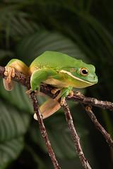 White-lipped Tree Frog (Litoria infrafrenata) (Dave Hunt Photography) Tags: litoriainfrafrenata whitelippedtreefrog