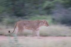 _Q4I3508-Edit (buddy4344) Tags: kambaku southafrica timbavati lion lioness