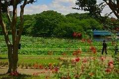 DSC_0092 (sxcxxhx) Tags: japan osaka kyoto hydrangea flower trip voyage 日本 大阪 京都 旅行