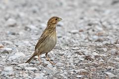 Corn Bunting (drbut) Tags: cornbunting emberizacalandra bird birds wildlife nature canonef500f4lisusm