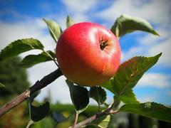 Red Apple. (Flyingpast) Tags: apple tree red fruit garden leaf branch colour tasty food eat juicy sky blue macro