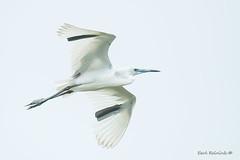 Little Blue Heron (juvie) (Earl Reinink) Tags: outside oudoors earl reinink earlreinink bird animal wildlife nature flight flying heron littleblueheron etraduodza sky