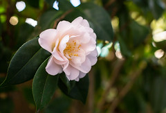 Winter bloom (David Redfearn) Tags: camellia