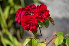 Roses are red.... in my garden, Norway (Ingunn Eriksen) Tags: redrose rose flower mygarden nikond750 nikon