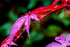 Acer Drops. (Different Aspects) Tags: 7dwf wednesdays macroorcloseup acer red droplets
