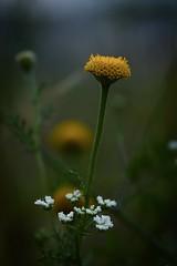 (salo75) Tags: nikon macro santacolomadecervelló catalunya amarillo flowers flores
