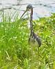 O2K_9549 (68photobug) Tags: 68photobug nikon d7000 sigmadg 150500mm usa centralflorida polkcounty lakeland preserve refuge sanctuary nature circlebbar heron tricoloredheron bird wadingbird marshrabbitrun