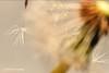 Launch of the Ship of the Imagination (Trevdog67) Tags: launch dandelion fluff flight seed nikon nikond7500 nikkor50mm promaster extensiontubes macro highspeed carlsagan cosmos 1980 theshipoftheimagination moncton newbrunswick canada nature naturephotography naturelovers
