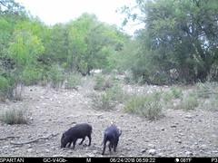 2018-06-24 06:59:22 - Crystal Creek 1 (Crystal Creek Bowhunting) Tags: crystal creek bowhunting trail cam