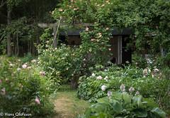 Time for roses (Hans Olofsson) Tags: garden rosor skammelstorp sommar trädgård sweden roses gardening
