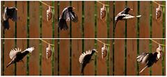 Blackbird (42jph) Tags: blackbird bird nature wildlife flight feeding uk england northumberland blyth nikon d7200 105mm f28g edif afs vr micro lens garden stitch multishot
