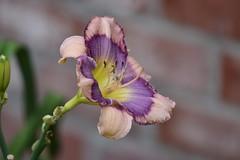 Daylily_0981 (Porch Dog) Tags: 2018 garywhittington kentucky nikond750 nikkor200500mm nature backyard blooms blossoms flowers daylily