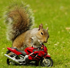 Grey squirrel with motorcycle (1) (Simon Dell Photography) Tags: grey squirrel with shopping cart nuts cute wild real botanical gardens trolley funny awesome park sheffield uk england summer spring simon dell photography 2018 photos city nature wildlife springwatch countryfile motorcycle model modle small cbr honda f4 bike biker