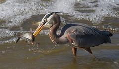 IMG_6939 Heron with catch (cmsheehyjr) Tags: cmsheehy colemansheehy nature wildlife bird heron greatblueheron floodwall jamesriver richmond virginia ardeaherodias