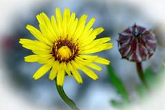 "Yellow beauty! (Uhlenhorst) Tags: 2008 australia australien plants pflanzen flowers blumen blossoms blüten travel reisen unidentifiedplant ""doublefantasy"""