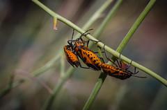 Tres son multitud (Miquel Gomis) Tags: natura colores valencia pentax pentaxart sigma105 k5iis alacant insecto naturaleza spain colors macro españa alicante