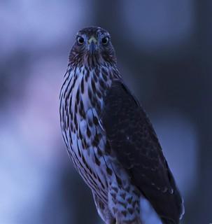 Cooper's Hawk, Accipiter cooperii