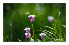 SHF_8835_orchid (Tuan Râu) Tags: 1dmarkiii 14mm 100mm 135mm 1d 1dx 2470mm 2018 50mm canon canon1d canoneos1dmarkiii canoneos1dx orchids phonglan dof bokeh thựcvật cây cỏ tuanrau tuấnrâu2018 râu tuan httpswwwfacebookcomrautuan71