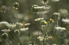 Les papillons aiment le jaune !! (olivier.amiaud) Tags: flore été summer plants butterfly papillon jaune champ field nature