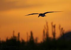 New Day (T L Sepkovic) Tags: blackskimmer skimmer silhouette sunrise morning earlymorning shore wildlife wilflifephotography canon 5dmkiv teamcanon ngc