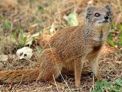yellow mongoose Blijdorp JN6A9273 (j.a.kok) Tags: mangoest mongoose yellowmongoose vosmangoest mammal animal blijdorp zoogdier dier predator
