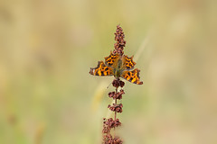Comma (microwyred) Tags: comma events nature flower leaf meadow greencolor animal butterflyinsect lepidoptera wildlife beautyinnature macro places butterfly multicolored closeup insect outdoors summer plant yellow spennellsvalleypark animalwing