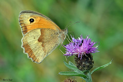 Le Fadet commun ou Procris (Coenonympha pamphilus) (jean-lucfoucret) Tags: photoday dayphoto picture picardie nord france nikon nikond500 photographie nikkor85mm nikkor coenonympha pamphilus fadet commun animalia insecte papillon chardon insecta procris nymphalidae lepidoptera bokeh ailes aile marron butterfly flower insect thistle