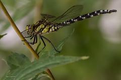 Blaugrüne Mosaikjungfer (wernerlohmanns) Tags: wildlife natur outdoor makro insekten fliegendeinsekten fleischfresser libellen dragonfly nikond7200 d7200 deutschland katingerwatt schärfentiefe sigma150600c