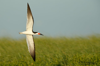 black skimmer fly-bye!