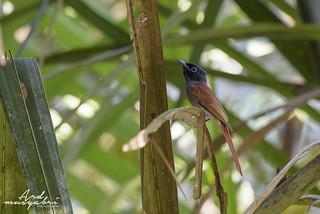 Amur Paradise Flycatcher (Female)