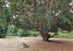 350 Year Old Yew Tree. Isleworth. London. UK (standhisround) Tags: trees tree yew 350years treemendoustuesday htmt church graveyard burialpit stone allsaints isleworth westlondon london england uk nature plaguepit
