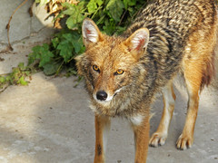 Moscow zoo (janepesle) Tags: zoo animals nature moscow москва зоопарк животные animal jackal шакал