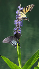 IMG_0814edited.psd (sherri_lynn) Tags: butterflies insects nature ponds flowers plants gibbsgardens blackswallowtail easterntigerswallowtail