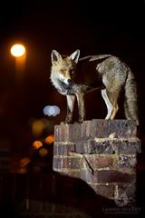 Night Watch (LawrieBrailey) Tags: male urban red fox dog night street photo photography photograph wall light lighting streetlight nighttime lawrie brailey wwwlawriebraileycouk nikon d4 sigma global vision series 135mm f18 art lens torch 6400 car cars house home uk england london british britain foxes